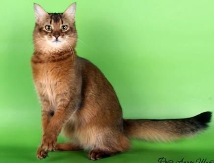 Кошки питомник невских маскарадных